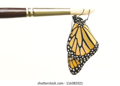 Monarch Butterfly Dangling from Paint Brush
