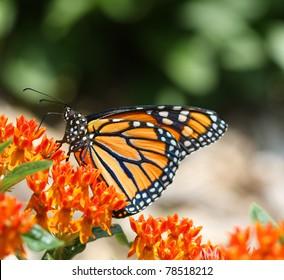 Monarch Butterfly Danus plexippus