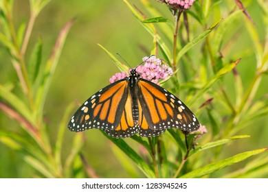 Monarch Butterfly (Danus plexippus) on Swamp Milkweed (Asclepias incarnata), Marion County, IL