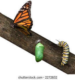 a monarch butterfly in differing stages of life from caterpillar to cocoon to butterfly