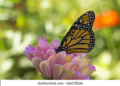 Monarch Butterfly Drinking on a Pink Zinnia