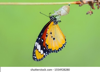 Monarch Butterfly drying its wings after metamorphosis.