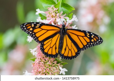 Monarch butterfly eating on flower