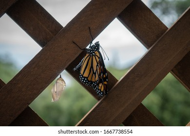 Monarch Butterfly Emerged From Chrysalis on Deck of Home in New Zealand