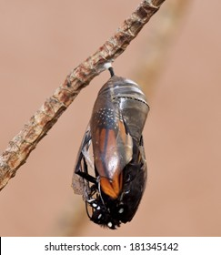 Monarch butterfly emerging from a clear chrysalis against a beige background