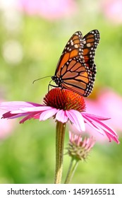 A monarch butterfly enjoying the nectar of a flower.