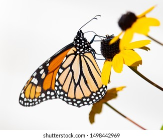 A monarch butterfly feeding on Black Eyed Susan flowers isolated on a white background.