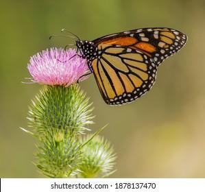 Monarch butterfly feeding on common thistle flower. Santa Clara County, California, USA.