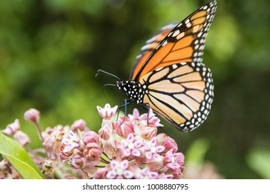 Monarch butterfly feeding on milkweed in Shenandoah National Park.