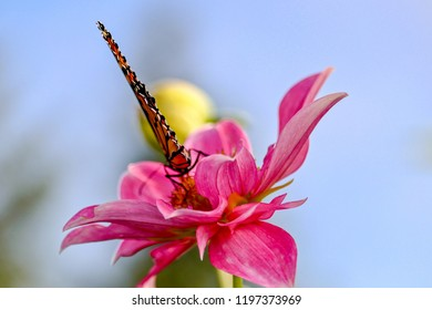 Monarch Butterfly feeding on a pink flower, closeup, isolated