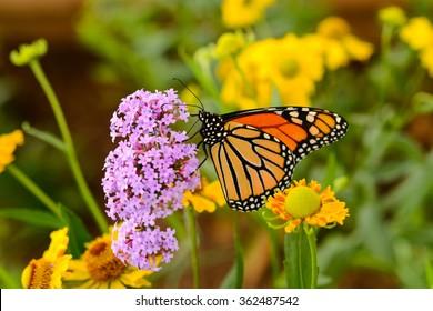 Monarch Butterfly - A monarch butterfly feeding on pink flowers in a Summer garden.