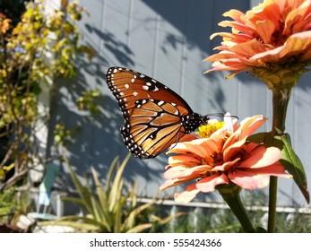 Monarch butterfly feeding on a Zinnia flower.
