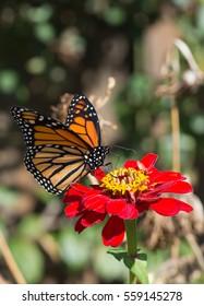 Monarch Butterfly feeding on a Zinnia