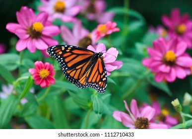 Monarch Butterfly Feeding on Zinnias