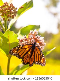 A monarch butterfly feeds on a milkweed flower blosssom.