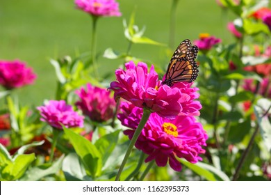 A Monarch butterfly feeds on the nectar of a pink zinnea flower in a central Indiana garden on a August afternoon