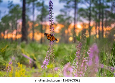 A monarch butterfly in a flower during sunset in Florida State Park