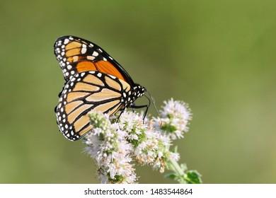 A monarch butterfly in the garden.