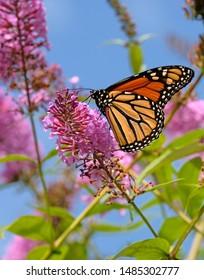 monarch butterfly in the garden.
