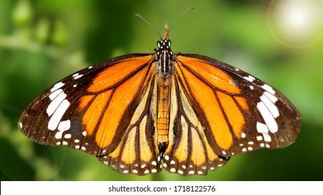monarch butterfly in a garden