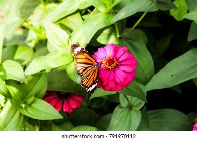 Monarch Butterfly in the garden. Butterfly feeding from flower.