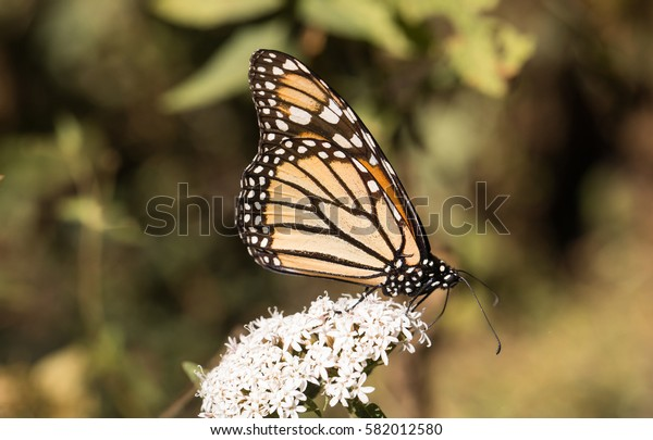 Monarch butterfly gathering nectar from white milkweed flower with blurred green leaves in background
