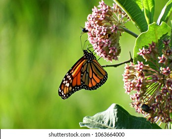 Monarch Butterfly gathering pollen from Milkweed