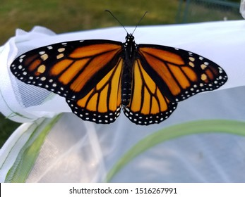 Monarch butterfly getting released from caterpillar raising habitat into the outdoors for migration