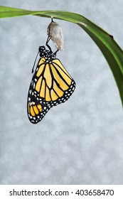 Monarch butterfly hanging from the chrysalis that he hatched from on a sparkling background. Copy space on a vertical format.