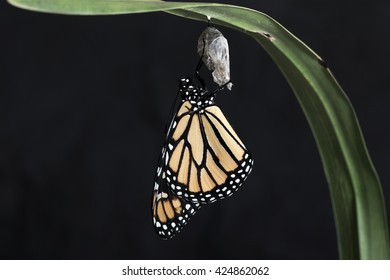 Monarch butterfly hanging from the chrysalis that he hatched from on a rich black background. Horizontal with copy space.
