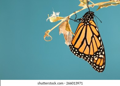 Monarch butterfly hanging on a branch with his chrysalis with a blue background