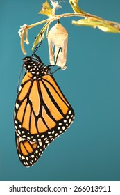 Monarch butterfly hanging on his chrysalis with a blue background
