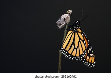 Monarch butterfly hanging on his chrysalis. Nice black background for text.