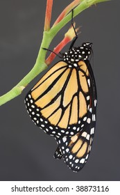 Monarch Butterfly hanging from plant