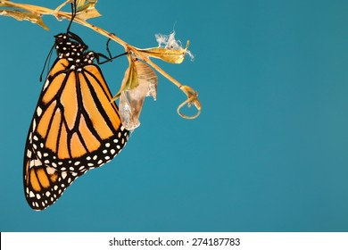 Monarch butterfly hanging from a stick after hatching and a blue background.