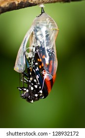 Monarch Butterfly hatching out of pupa