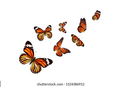 monarch butterfly isolated on white background.