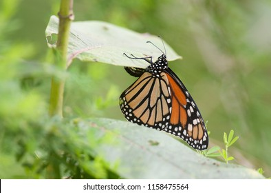 Monarch butterfly laying eggs on the underside of a milkweed leaf