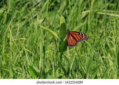 Monarch Butterfly laying eggs on a common milkweed plant.