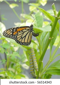 monarch butterfly is laying eggs with two caterpillars eating the same milkweed plant. Colors of green and orange are predominant with yellow and beige and black accents. Selective focus on butterfly.
