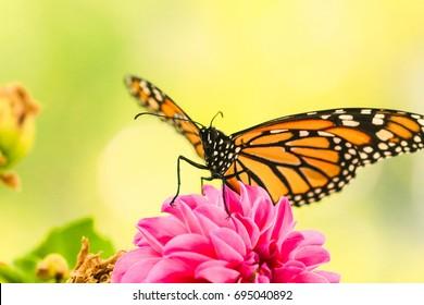 Monarch butterfly Metamorphosis macro shot