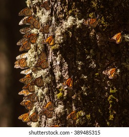 Monarch butterfly migration in Cerro Pelon Butterfly Sanctuary, Mexico/Monarch butterfly migration