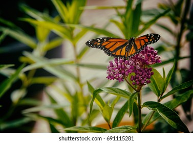 Monarch butterfly on backyard milkweed