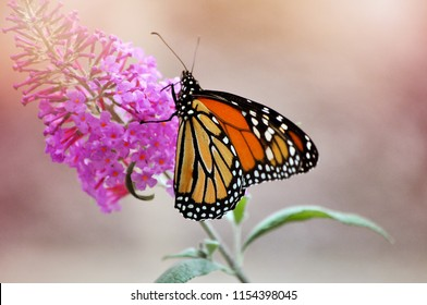 A monarch butterfly on a butterfly bush.