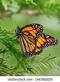 A monarch butterfly on an evergreen.