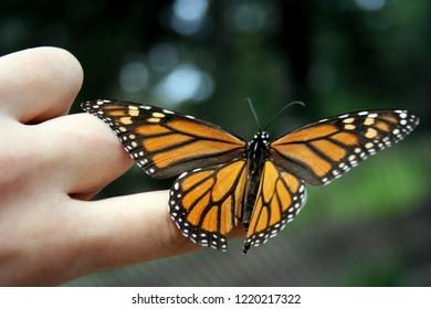 0deea6553 Monarch On Finger Images, Stock Photos & Vectors | Shutterstock
