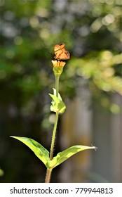 Monarch butterfly on flower bud captain