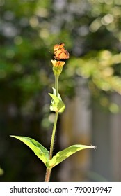 The Monarch butterfly on the flower bud