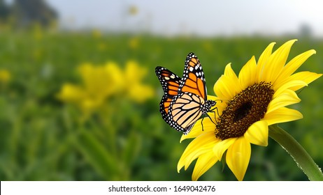 monarch butterfly on flower. Image of a butterfly Monarch on sunflower with blurry background. Nature stock image of a closeup insect. Most beautiful imaging of a wings butterfly on flowers.