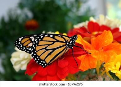 Monarch Butterfly on Flowers.